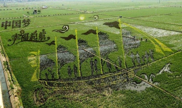 Sui campi di riso i disegni che si vedono dal cielo